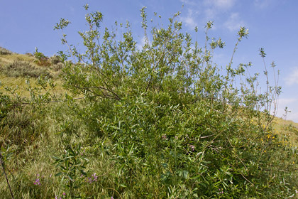 Arroyo Willow