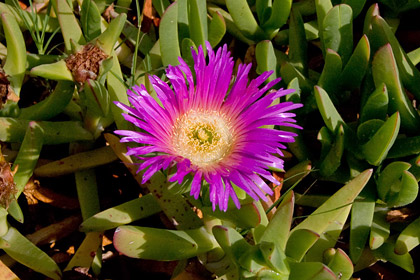 Sea Fig Ice Plant