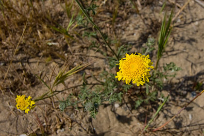 Yellow Pincushion