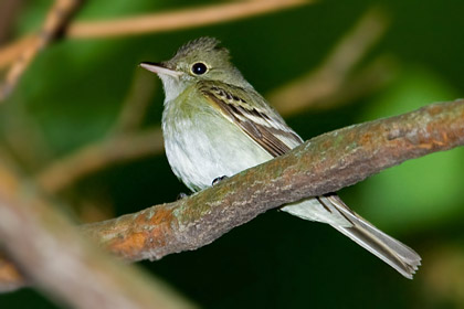 Acadian Flycatcher Photo @ Kiwifoto.com