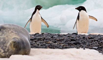 Adelie Penguin Photo @ Kiwifoto.com