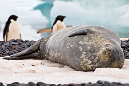 Adelie Penguin (with Weddell Seal)