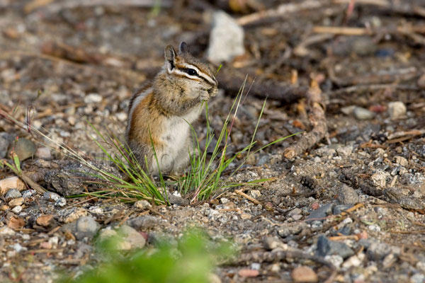 Alpine Chipmunk Photo @ Kiwifoto.com
