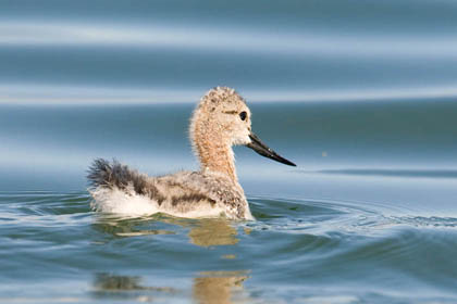 American Avocet Photo @ Kiwifoto.com