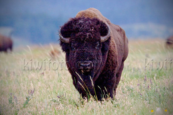 American Bison Photo @ Kiwifoto.com