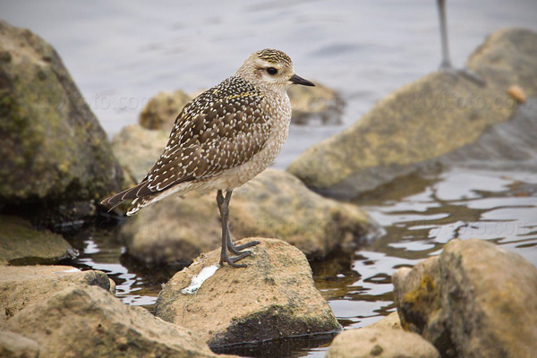 American Golden-Plover Photo @ Kiwifoto.com