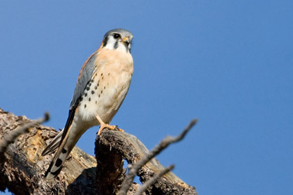 American Kestrel Photo @ Kiwifoto.com