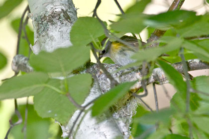 American Redstart (female on nest)