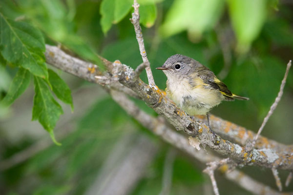 American Redstart (female with brood patch)