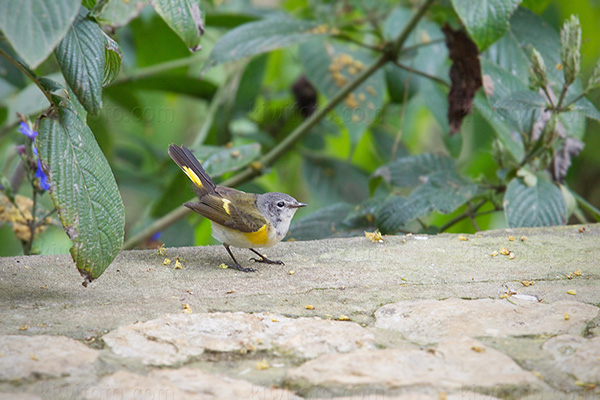 American Redstart Photo @ Kiwifoto.com