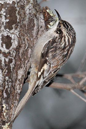 American Tree Creeper