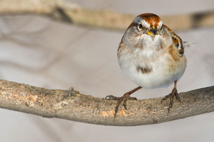 American Tree Sparrow Photo @ Kiwifoto.com