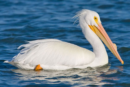 American White Pelican Photo @ Kiwifoto.com
