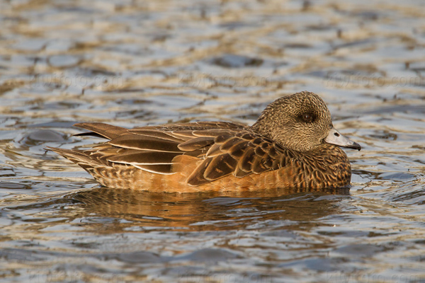 American Wigeon Photo @ Kiwifoto.com