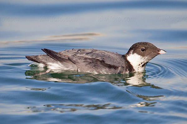Ancient Murrelet Picture @ Kiwifoto.com