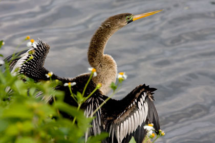 Anhinga Photo @ Kiwifoto.com