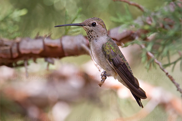 Anna's Hummingbird Photo @ Kiwifoto.com
