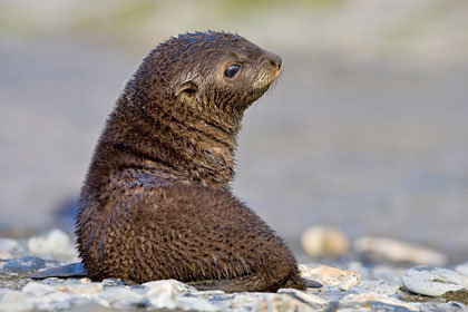 Antarctic Fur Seal Photo @ Kiwifoto.com
