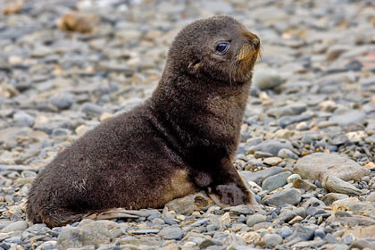 Antarctic Fur Seal Picture @ Kiwifoto.com