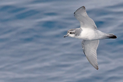 Antarctic Prion Picture @ Kiwifoto.com