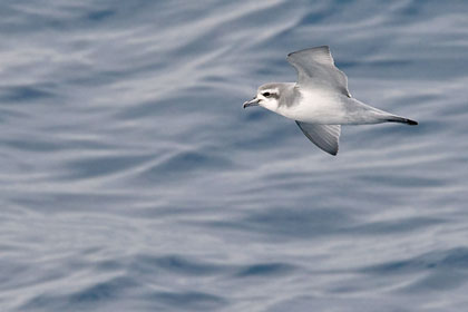 Antarctic Prion Photo @ Kiwifoto.com