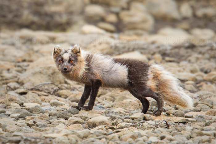Arctic Fox @ Hveravellir, Iceland