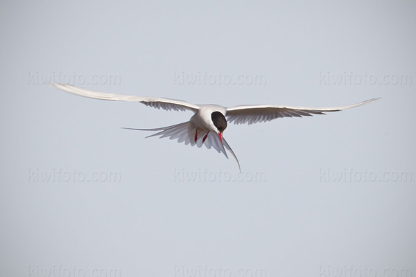Arctic Tern Photo @ Kiwifoto.com