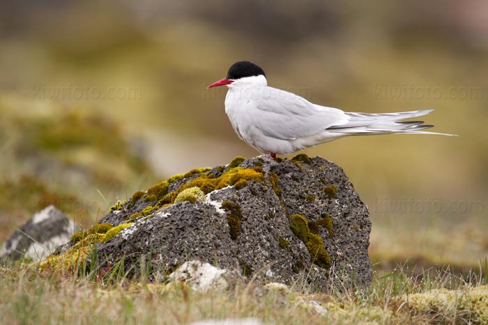 Arctic Tern @ Gardur, Iceland