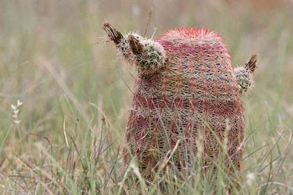 Arizona Barrel Cactus
