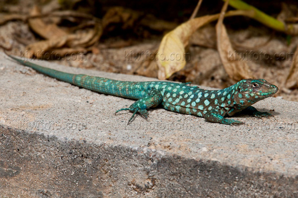 Aruban Whiptail Lizard