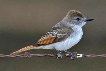 Ash-throated Flycatcher (juvenile)