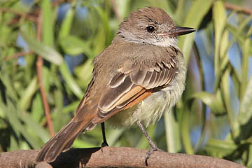 Ash-throated Flycatcher Photo @ Kiwifoto.com