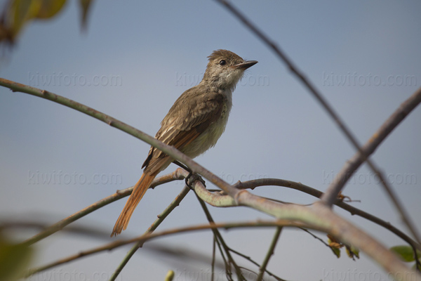 Ash-throated Flycatcher Picture @ Kiwifoto.com