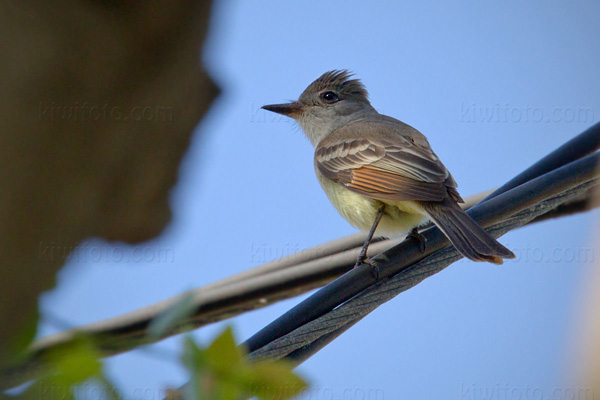 Ash-throated Flycatcher Image @ Kiwifoto.com