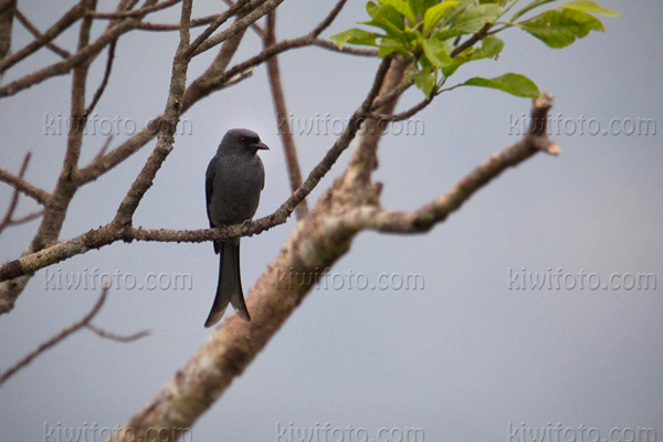 Ashy Drongo Photo @ Kiwifoto.com