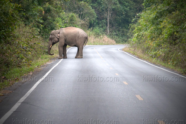 Asian Elephant Picture @ Kiwifoto.com