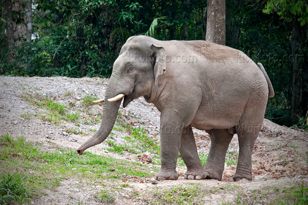 Asian Elephant Image @ Kiwifoto.com