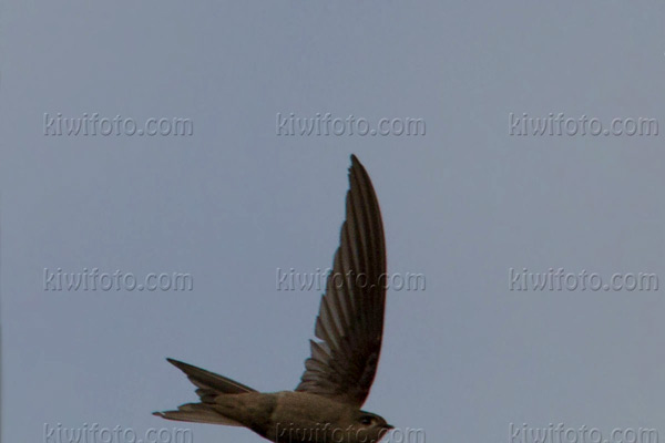 Asian Palm-swift Picture @ Kiwifoto.com