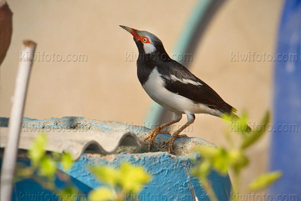 Asian Pied Starling Picture @ Kiwifoto.com