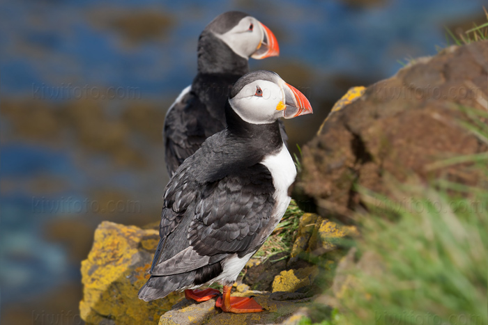 Atlantic Puffin Photo @ Kiwifoto.com