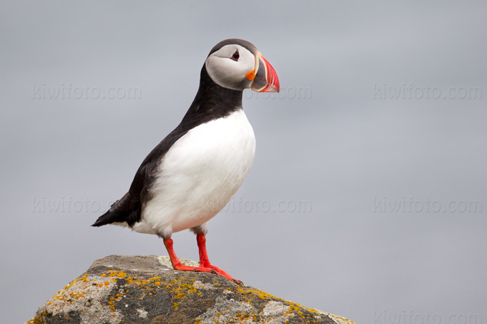 Atlantic Puffin Picture @ Kiwifoto.com
