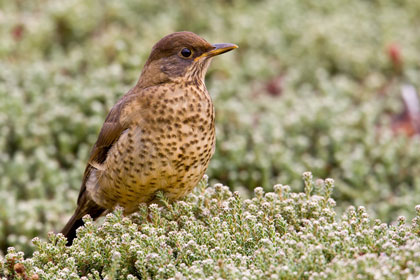 Austral Thrush Photo @ Kiwifoto.com