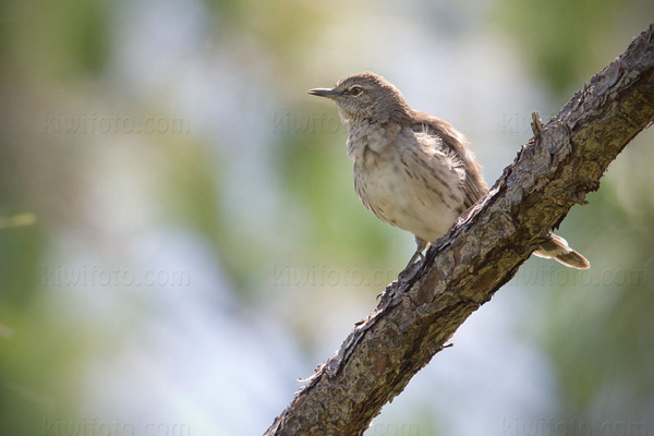Bahama Mockingbird Photo @ Kiwifoto.com
