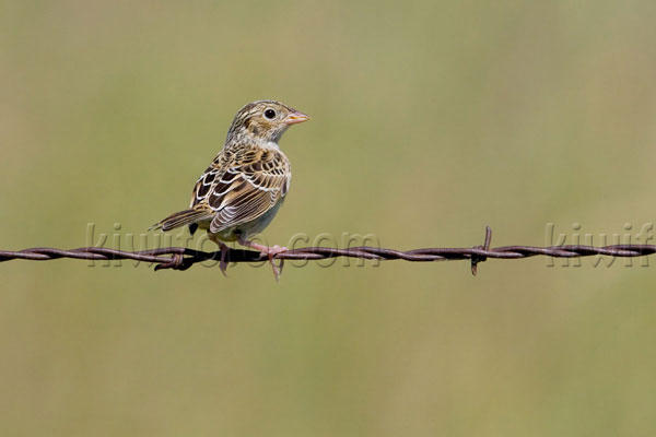 Baird's Sparrow Photo @ Kiwifoto.com