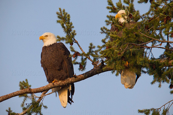 Bald Eagle Photo @ Kiwifoto.com