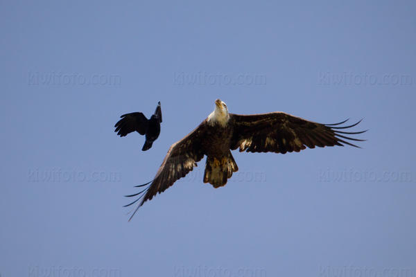 Bald Eagle Picture @ Kiwifoto.com