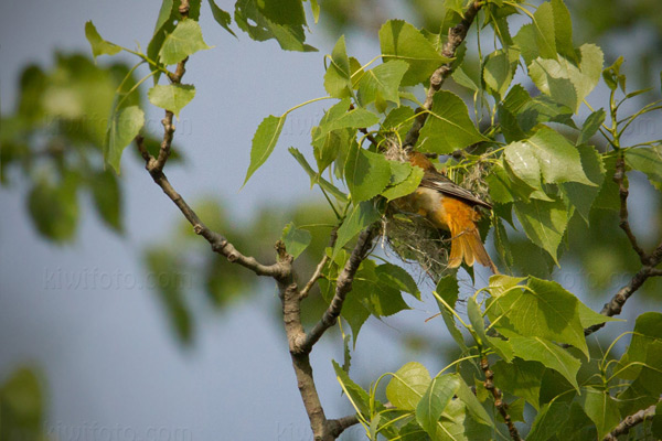 Baltimore Oriole (nest building)