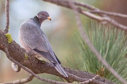 Band-tailed Pigeon Photo @ Kiwifoto.com