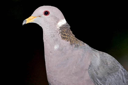 Band-tailed Pigeon Picture @ Kiwifoto.com