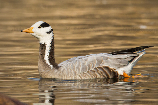 Bar-headed Goose Picture @ Kiwifoto.com